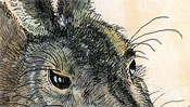 The eyes of brown hare
