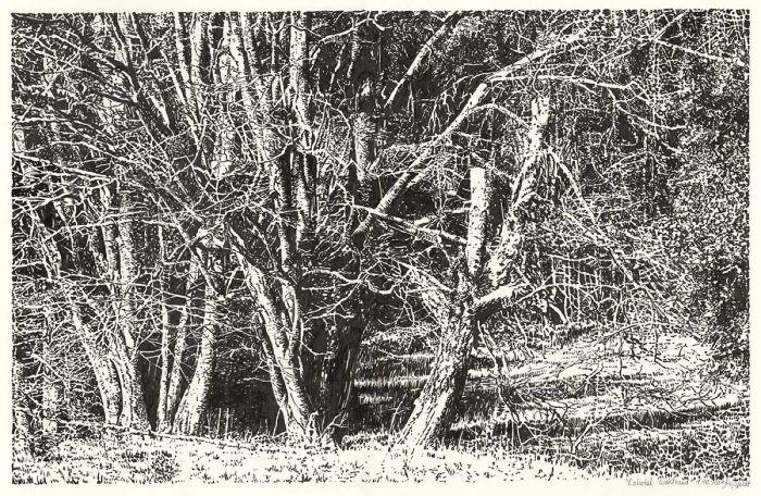 Lobetal forest edge (drawing)