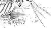 Drawing Mantis Shrimp (Detail 4)