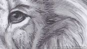 Lions Head (realistic pencil drawing) (Detail 3)