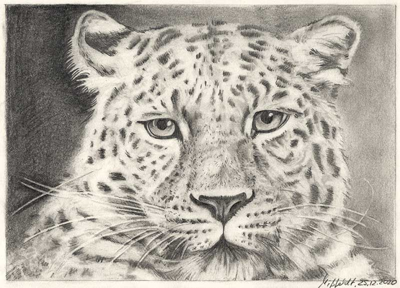 Pencil drawing leopard (how to draw animals)