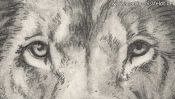 Pencil drawing of a lion (2nd version) (Detail 1)