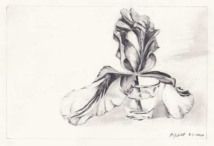 Pencil drawing of a Tulip