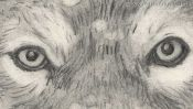 Wolf pencil drawing (Detail 2)