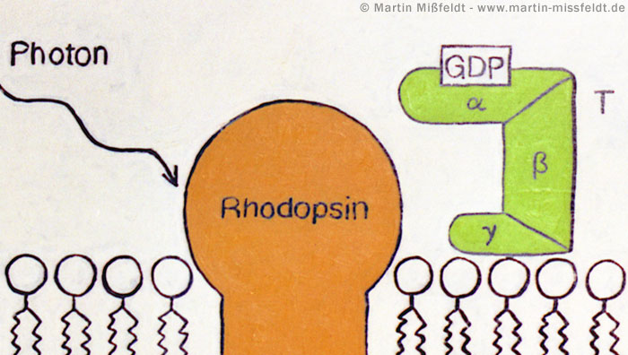Photon meets rhodopsin painting