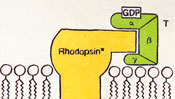 GDP activated rhodopsin - Chart painting