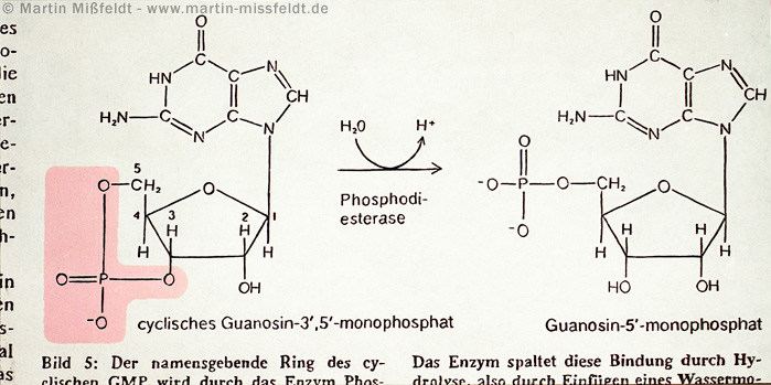 Guanosin-5-monophosphat