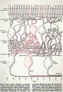 Retina layers