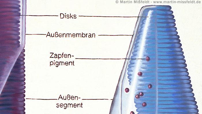Cone pigment - discs